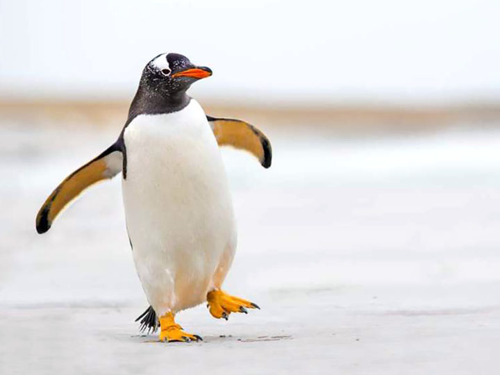 To stay safe on snow or ice, walk like a penguin